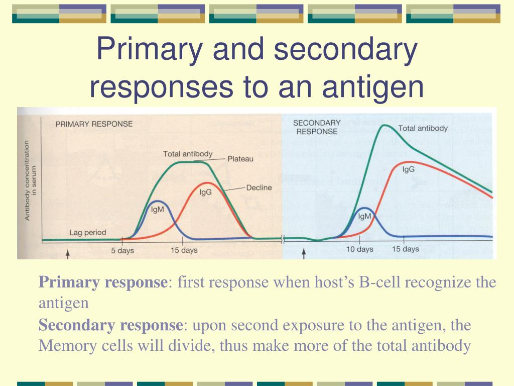 Primary and secondary responses to an antigen