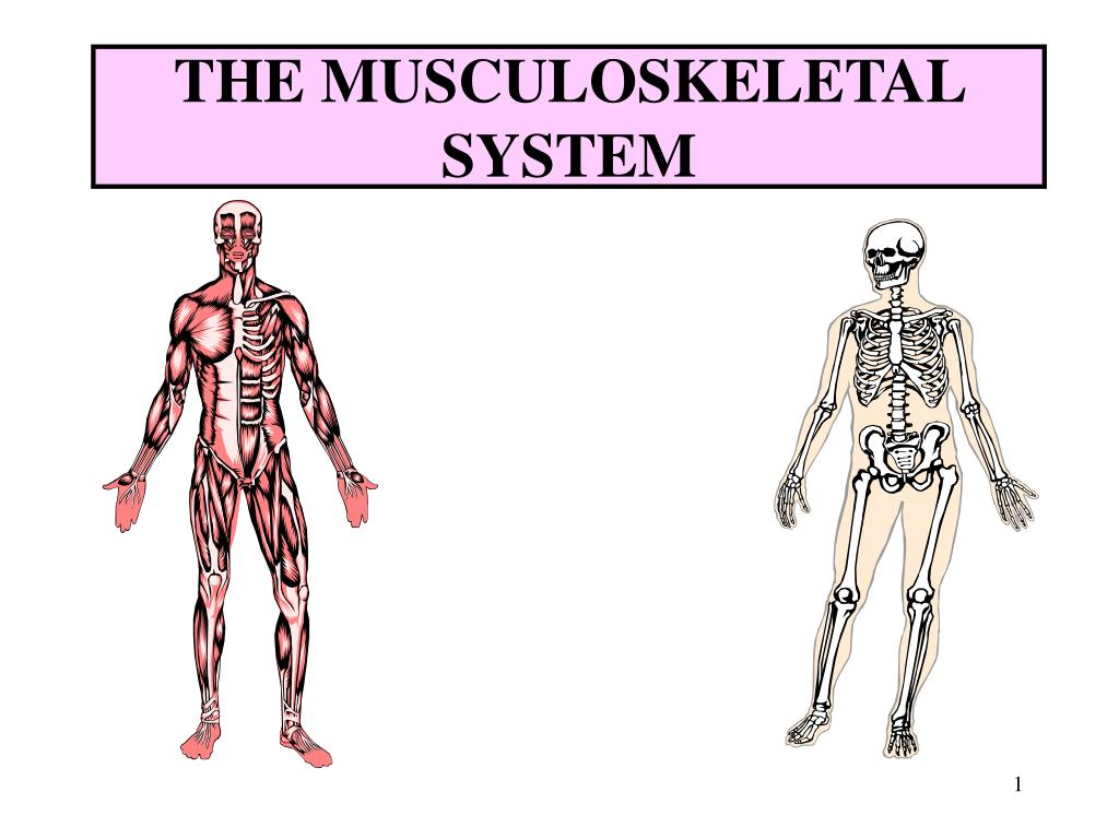 a healthy musculoskeletal system Global alliance for musculoskeletal health of the bone and joint decade musculoskeletal conditions are currently the most common cause of chronic disability.