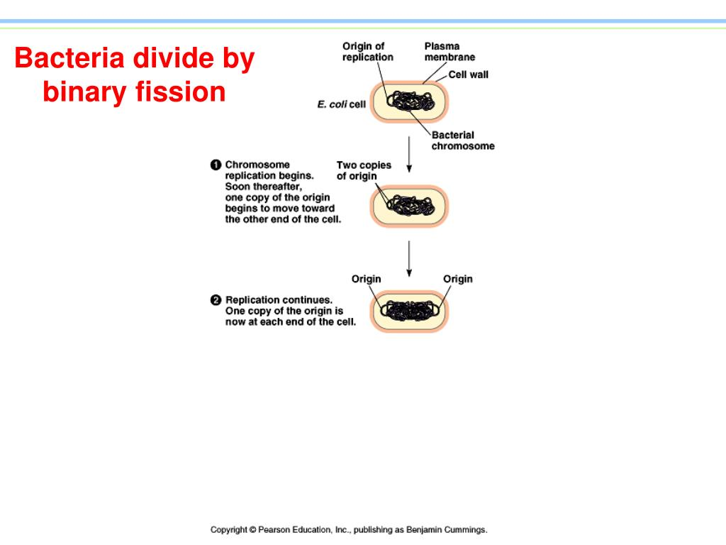 Bacteria divide by binary fission