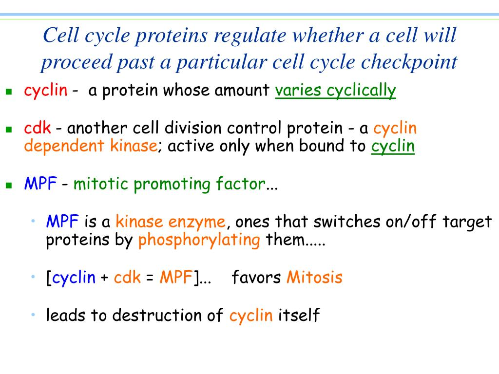 Cell cycle proteins regulate whether a cell will proceed past a particular cell cycle checkpoint