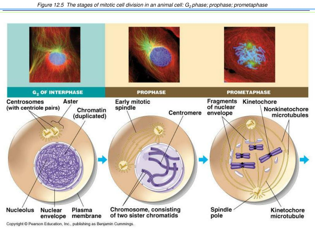 Figure 12.5  The stages of mitotic cell division in an animal cell: G