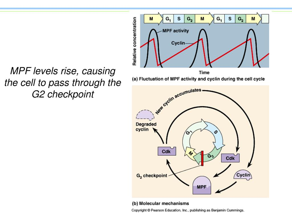 MPF levels rise, causing the cell to pass through the G2 checkpoint