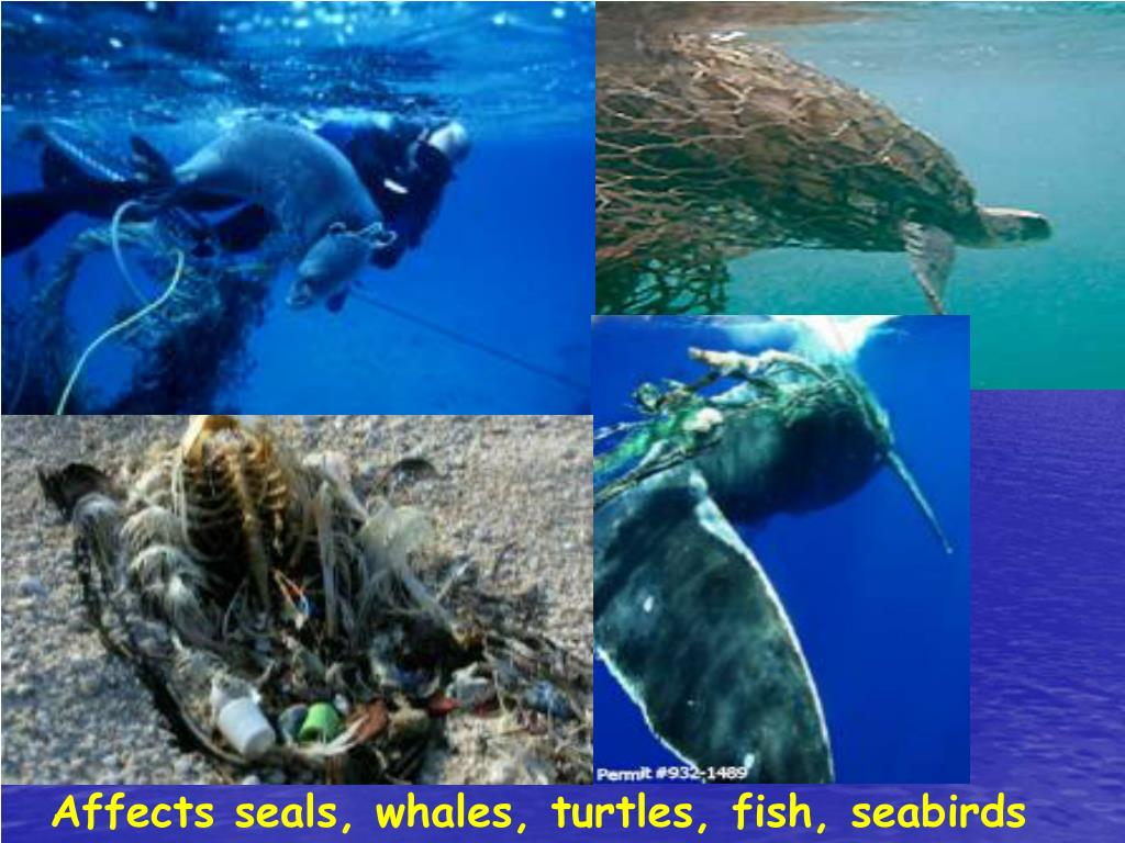 Affects seals, whales, turtles, fish, seabirds
