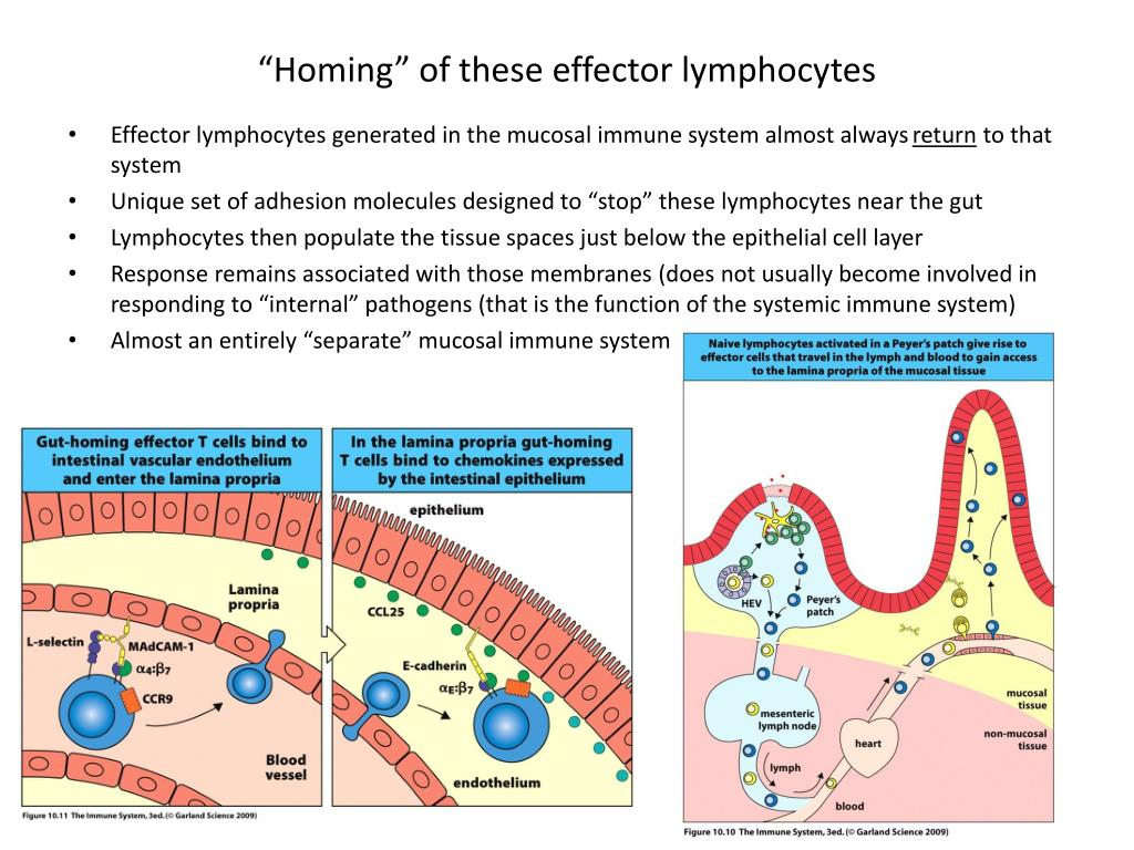 """Homing"" of these effector lymphocytes"