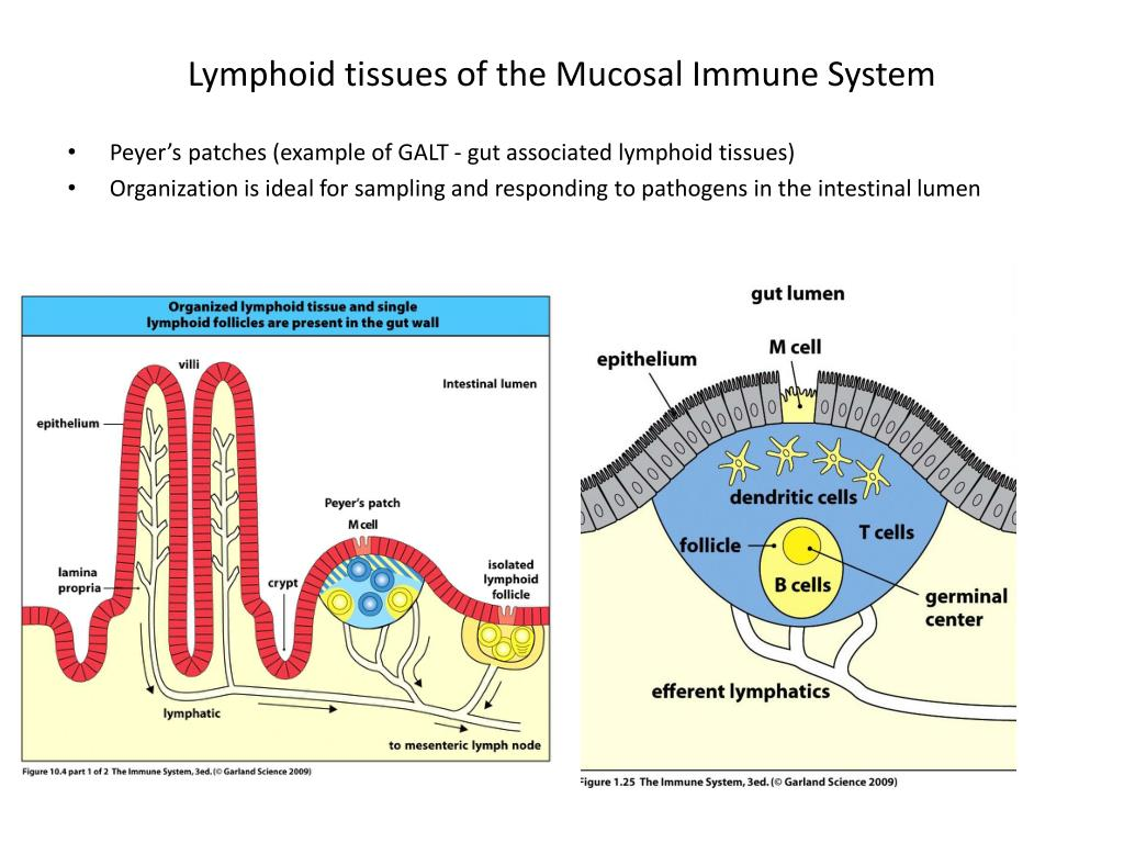 Lymphoid tissues of the Mucosal Immune System