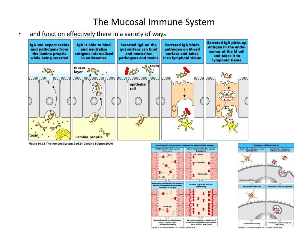 The Mucosal Immune System