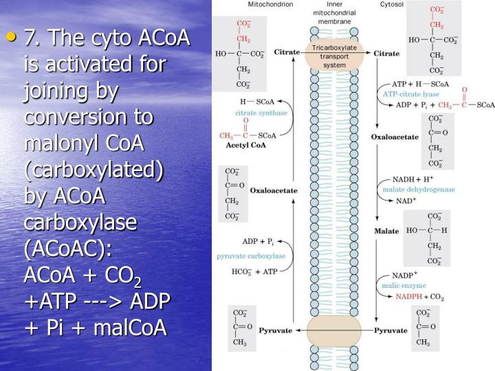 7. The cyto ACoA is activated for joining by conversion to malonyl CoA (carboxylated) by ACoA carboxylase (ACoAC):     ACoA + CO