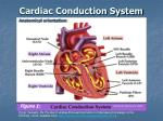 cardiac conduction system