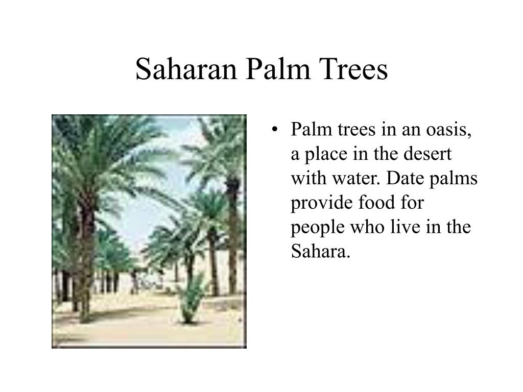 Saharan Palm Trees