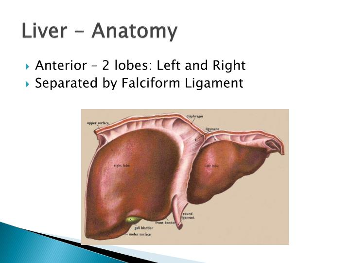 Ppt The Liver Gallbladder And Biliary Tree Powerpoint