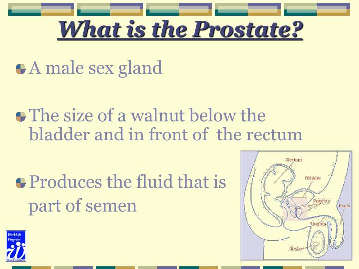 What is the prostate
