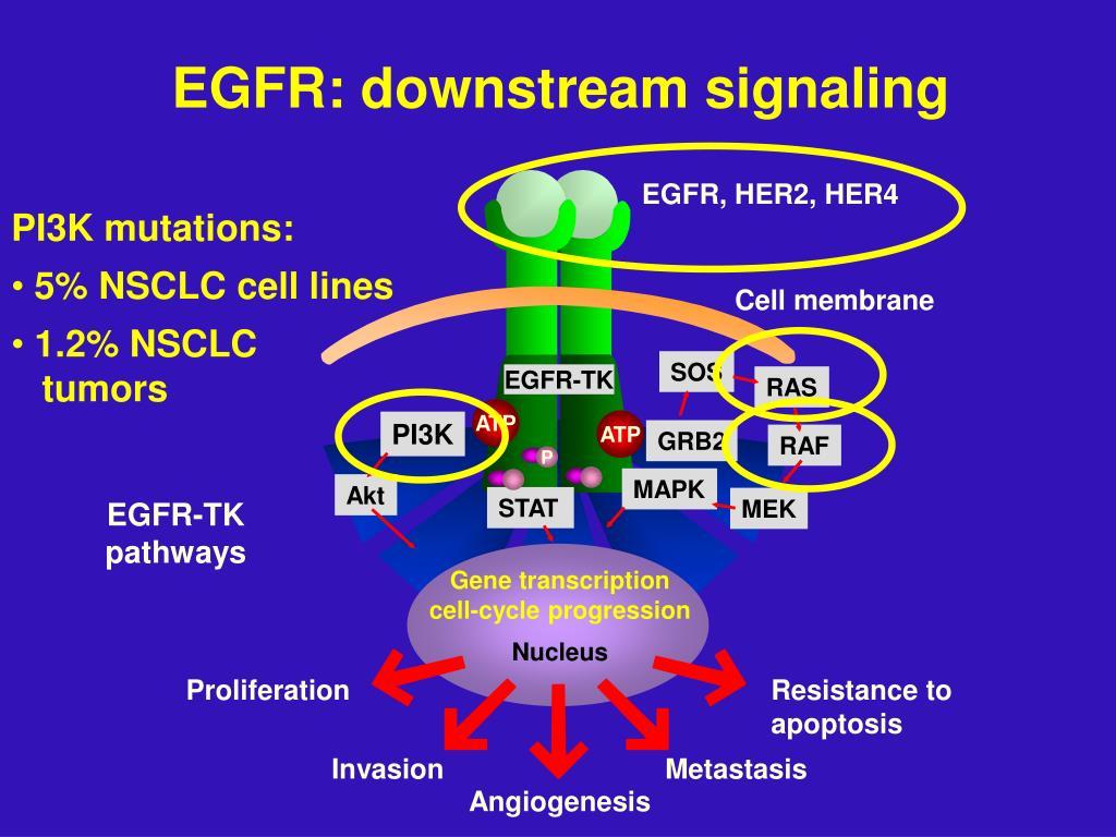 EGFR: downstream signaling