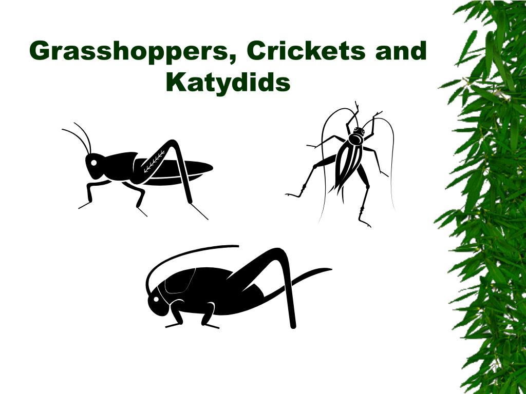 grasshoppers crickets and katydids l.