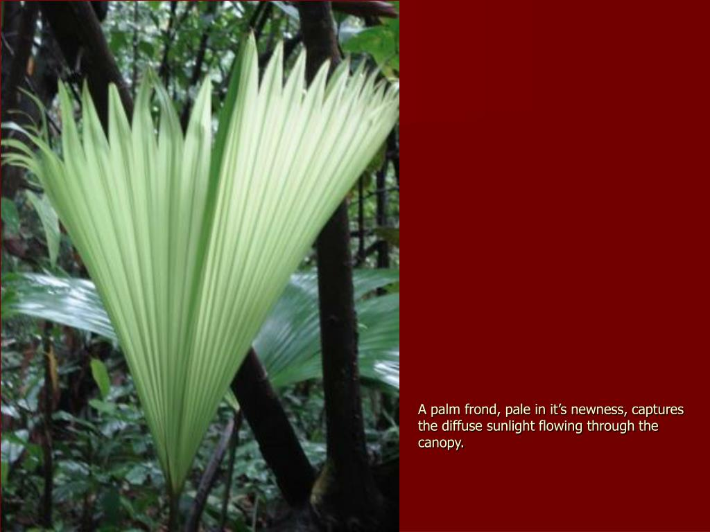 A palm frond, pale in it's newness, captures the diffuse sunlight flowing through the canopy.