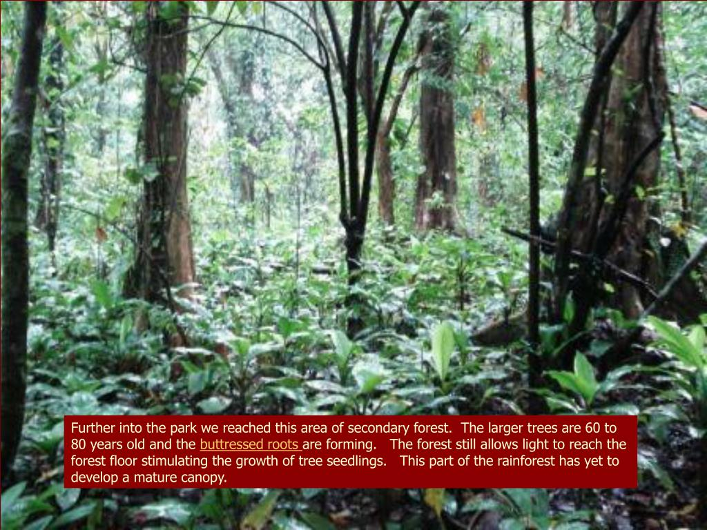 Further into the park we reached this area of secondary forest.  The larger trees are 60 to 80 years old and the
