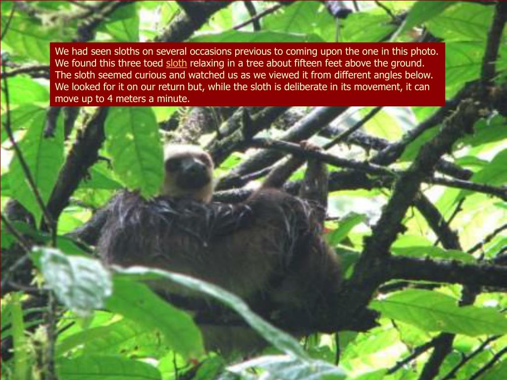We had seen sloths on several occasions previous to coming upon the one in this photo.  We found this three toed