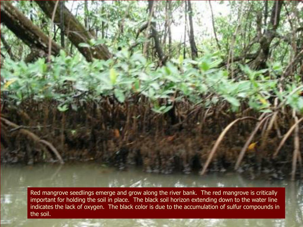 Red mangrove seedlings emerge and grow along the river bank.  The red mangrove is critically important for holding the soil in place.  The black soil horizon extending down to the water line indicates the lack of oxygen.  The black color is due to the accumulation of sulfur compounds in the soil.