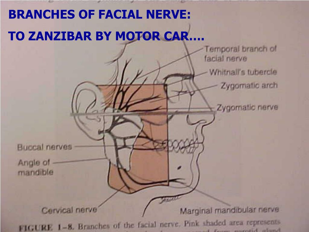 BRANCHES OF FACIAL NERVE: