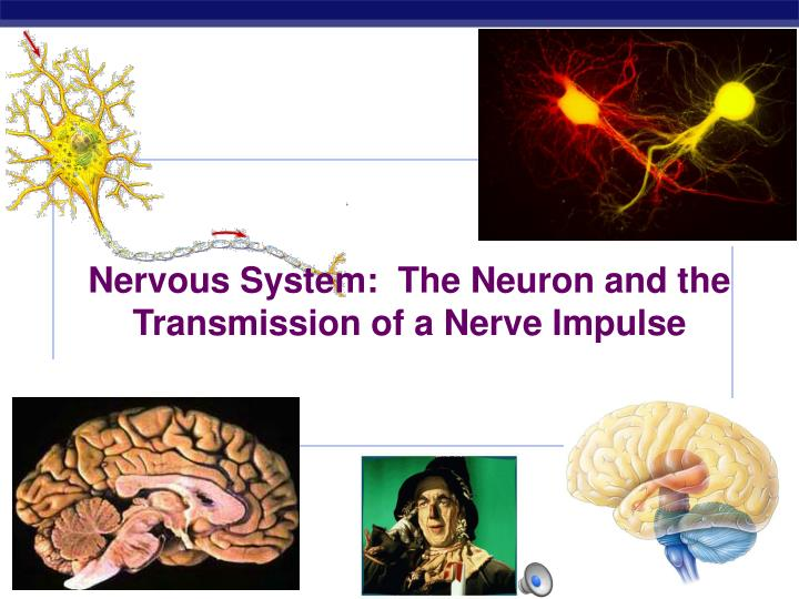 Nervous system the neuron and the transmission of a nerve impulse