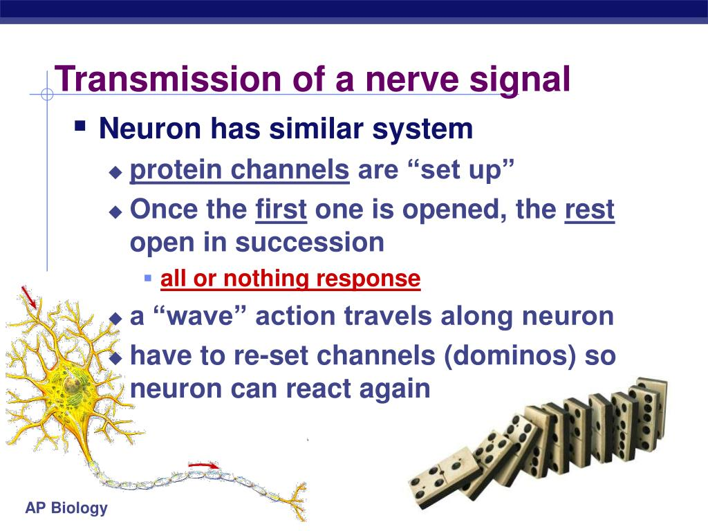 Transmission of a nerve signal