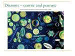 diatoms centric and pennate