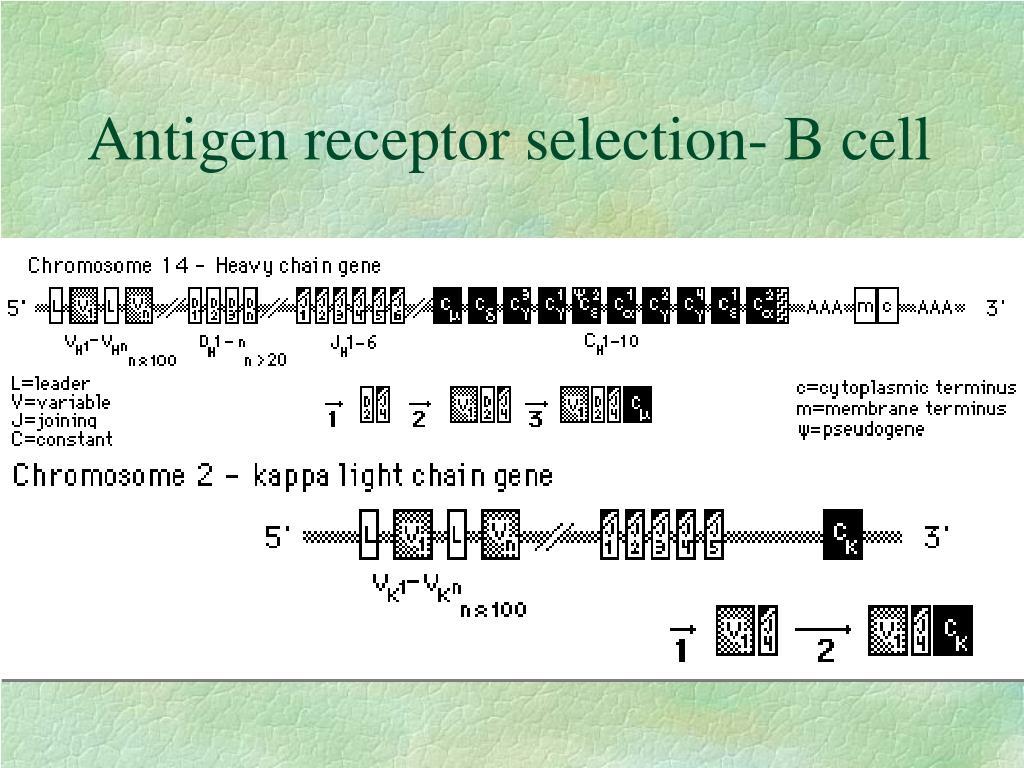 Antigen receptor selection- B cell