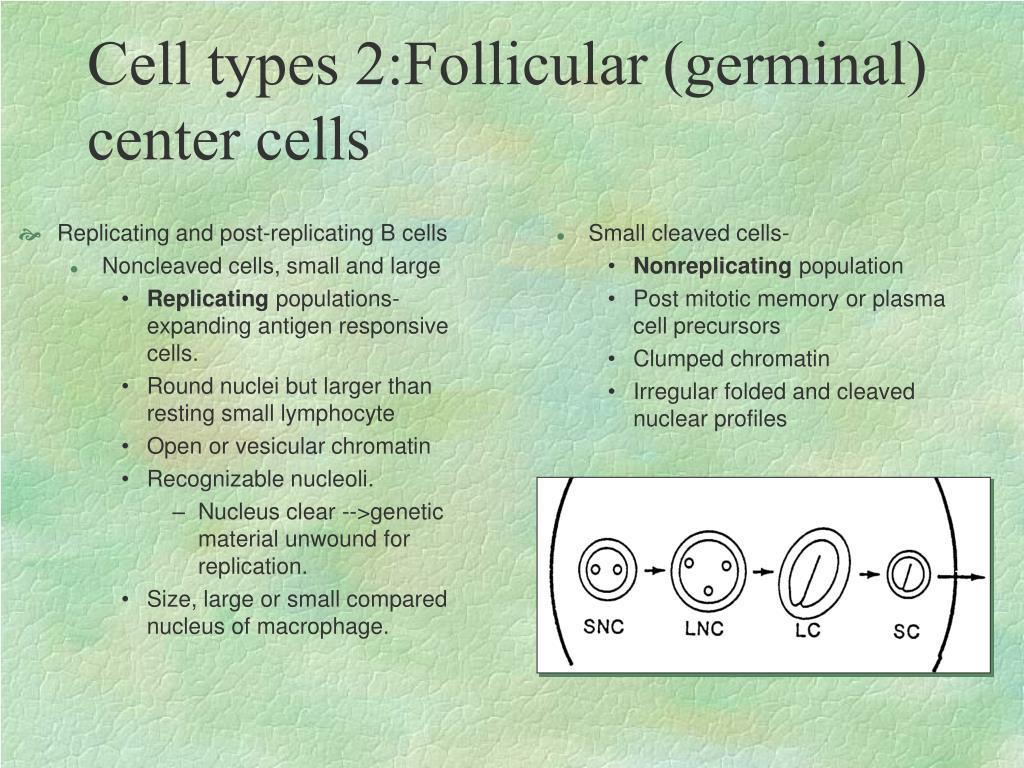Replicating and post-replicating B cells