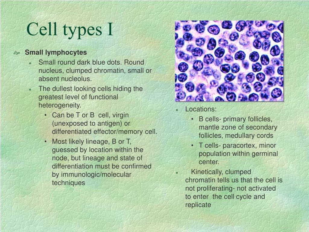 Small lymphocytes