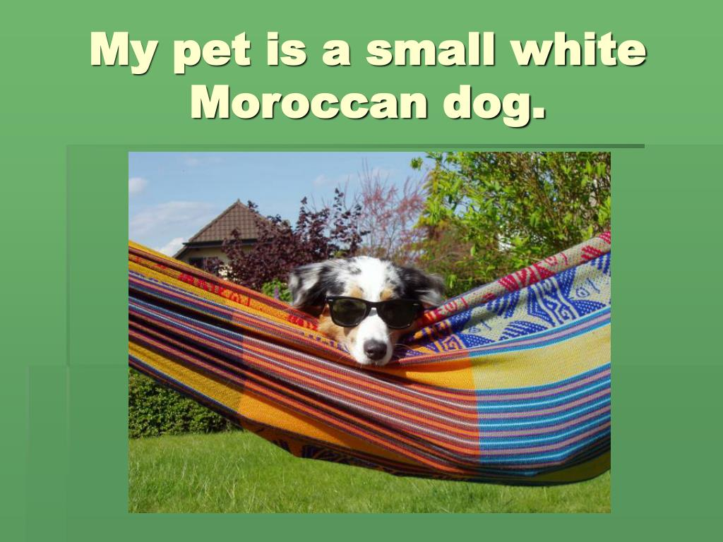 My pet is a small white    Moroccan dog.