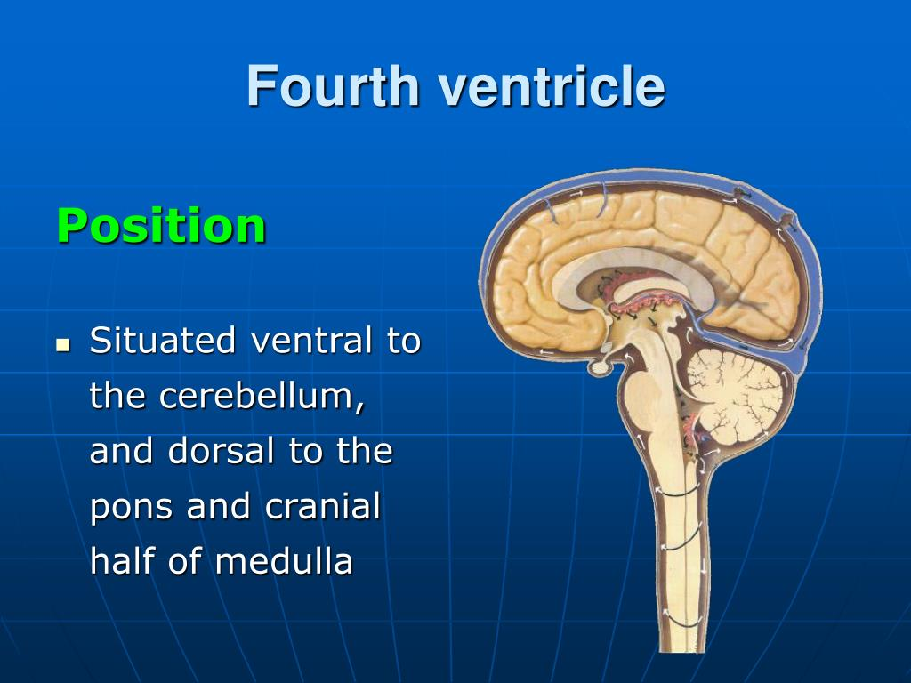 Ppt Gross Anatomy And Development Of The Brain Stem And