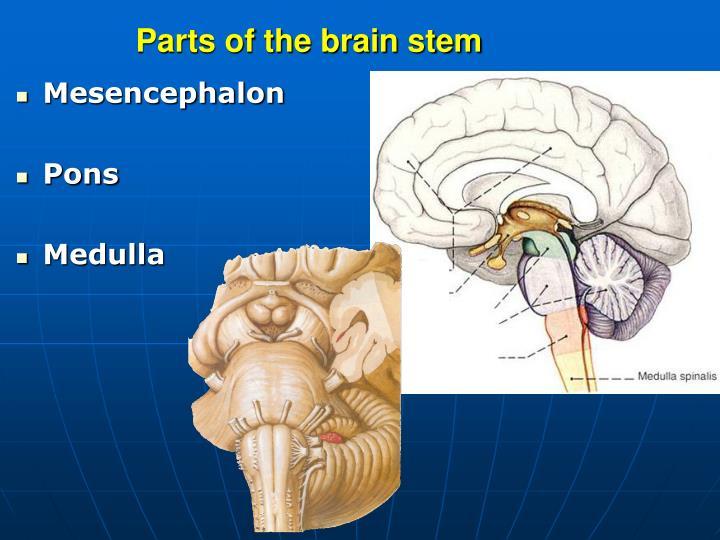 PPT - Gross anatomy and development of the brain stem and cerebellum ...