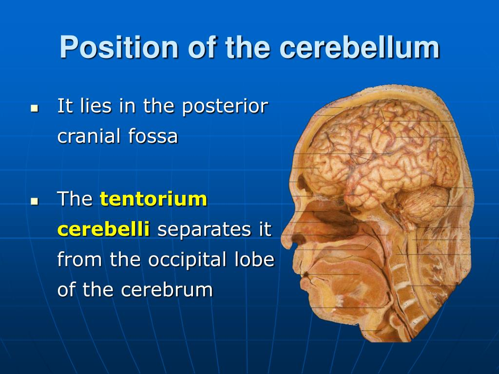 Cerebellum Anatomy Ppt