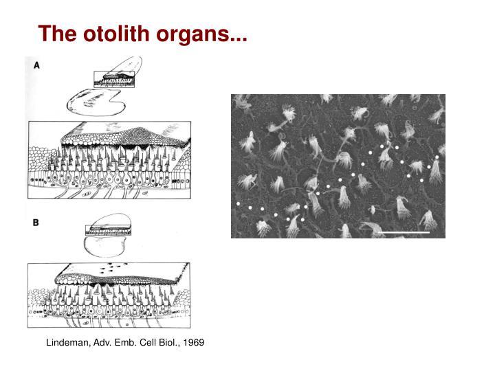 The otolith organs...