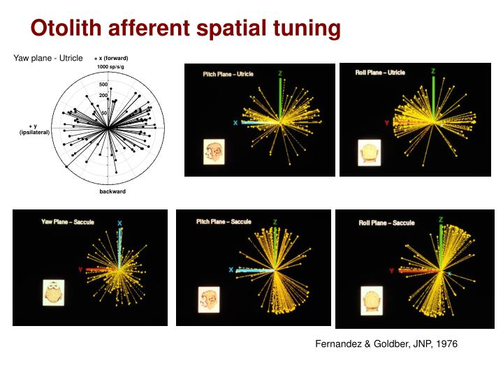 Otolith afferent spatial tuning
