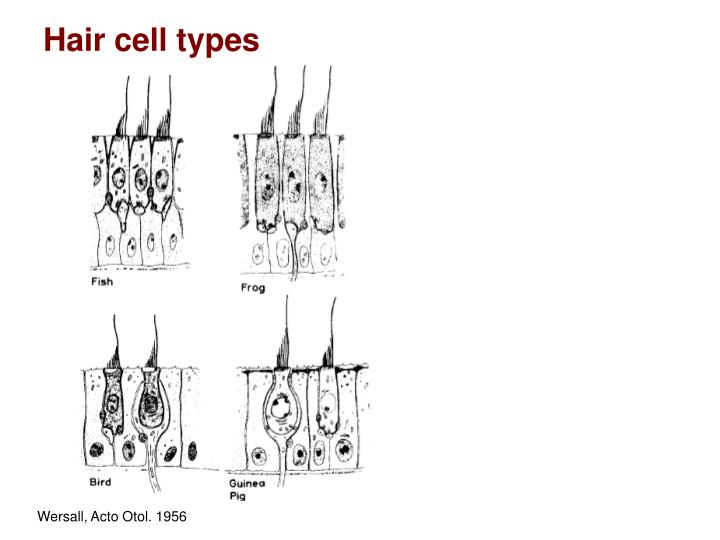 Hair cell types