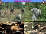nepal wildlife34