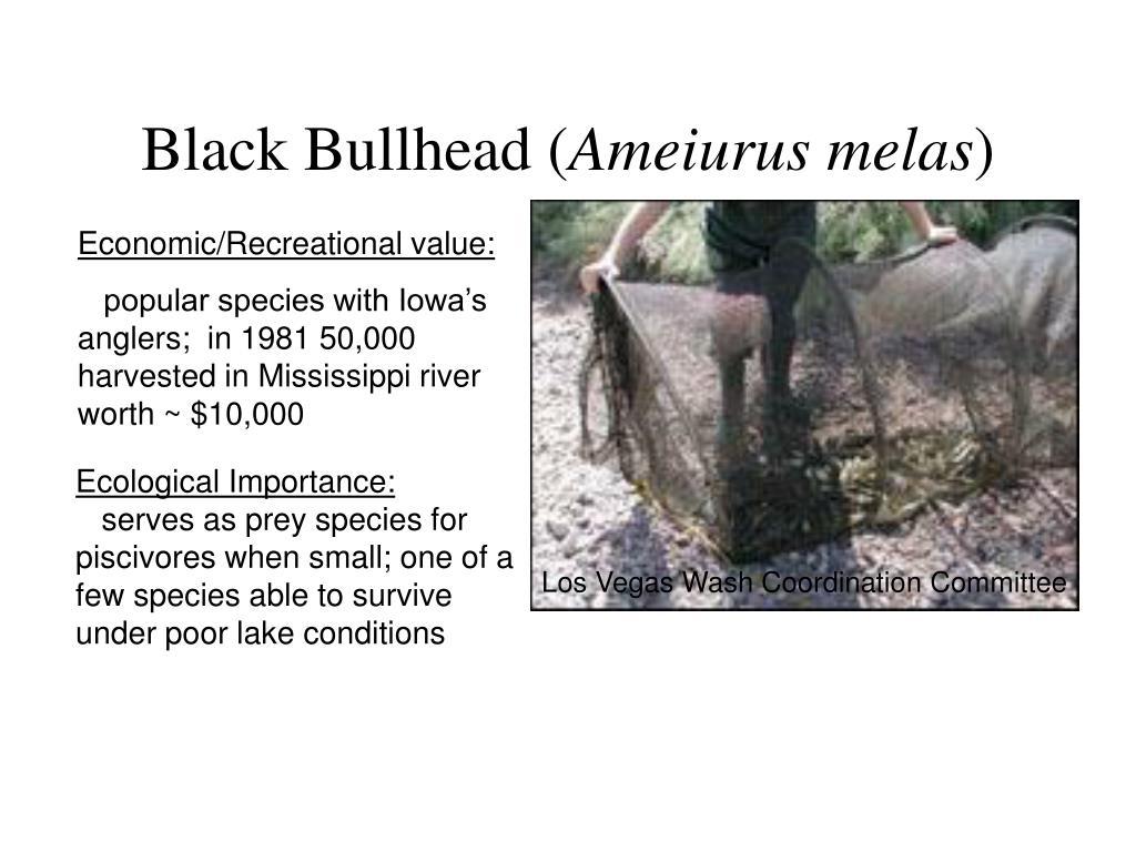 Black Bullhead (