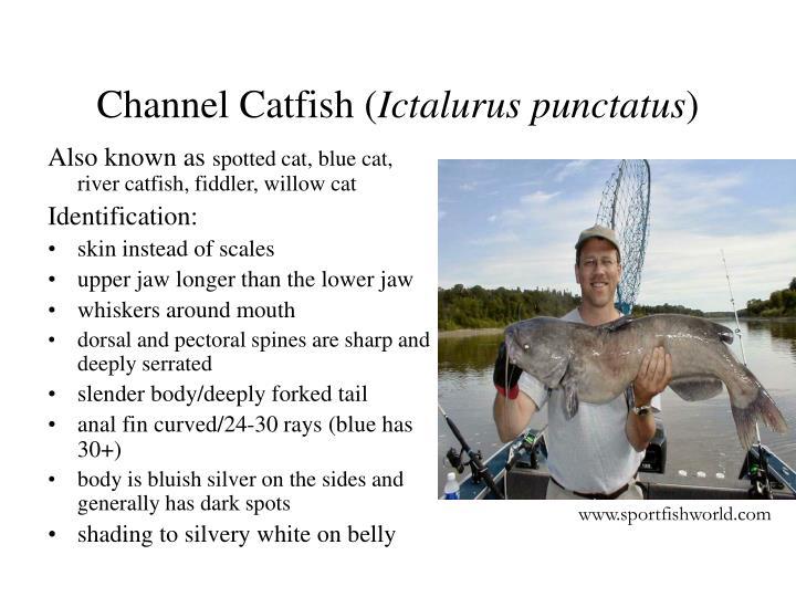 Channel catfish ictalurus punctatus2
