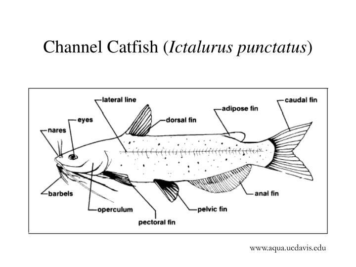 Channel catfish ictalurus punctatus3
