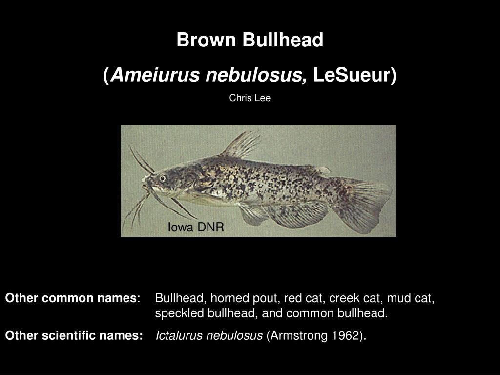 Brown Bullhead