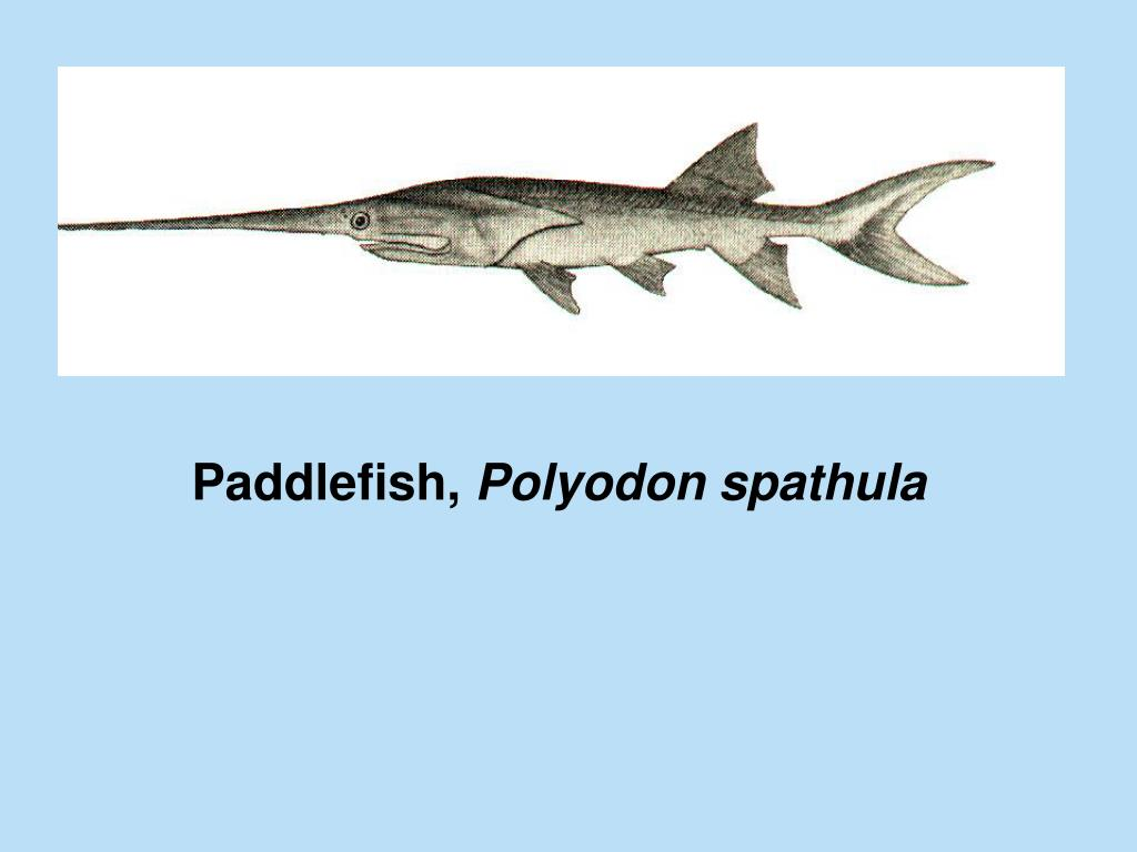 Paddlefish,