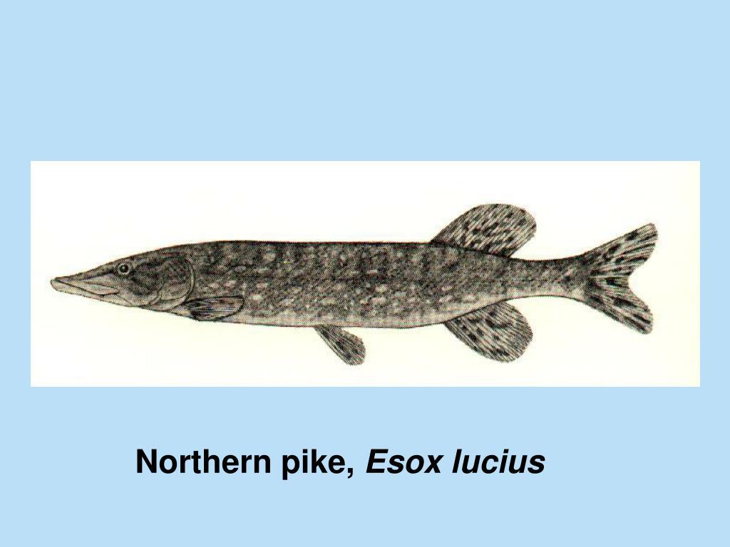 Northern pike,