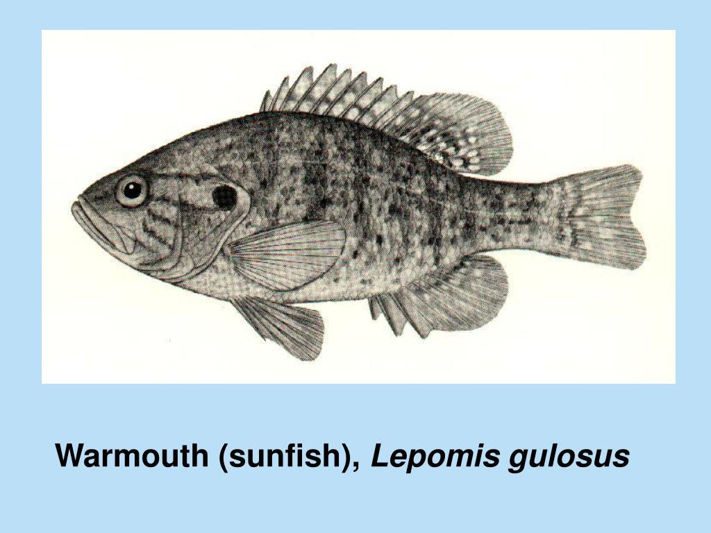 Warmouth (sunfish),