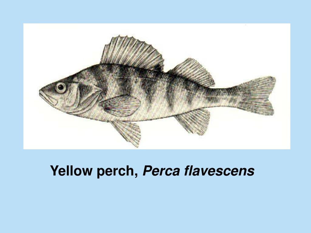 Yellow perch,