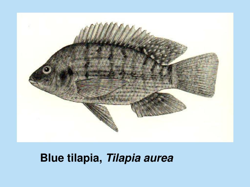 Blue tilapia,