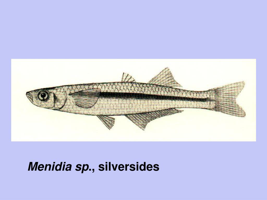 Menidia sp