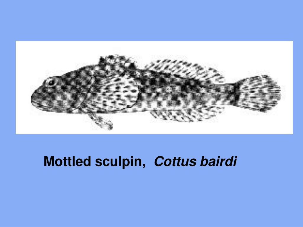 Mottled sculpin,