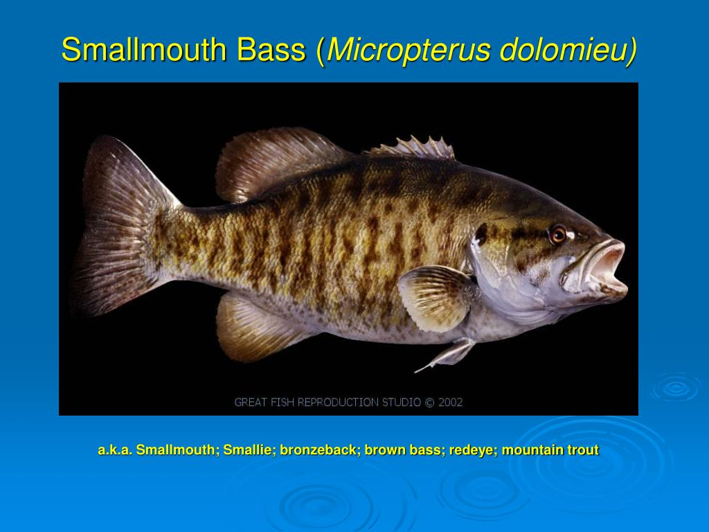 smallmouth bass micropterus dolomieu l.