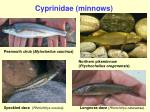 cyprinidae minnows