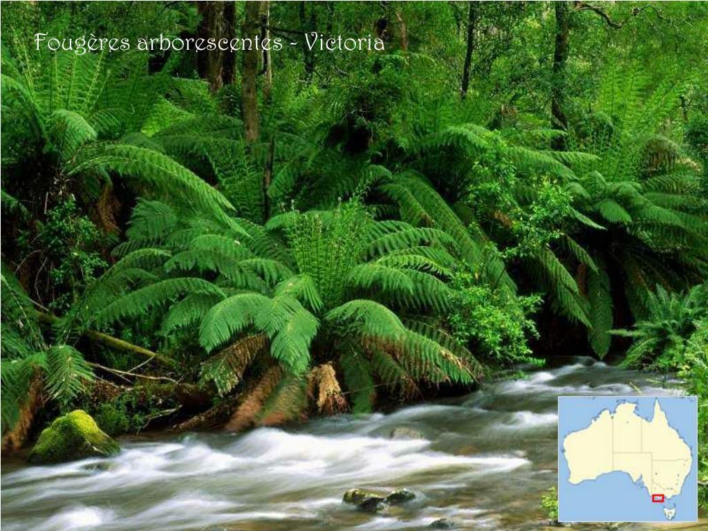 Fougères arborescentes - Victoria